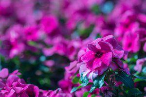Rosa Blumenmeer zur Abschiednahme - Bestatter Meister