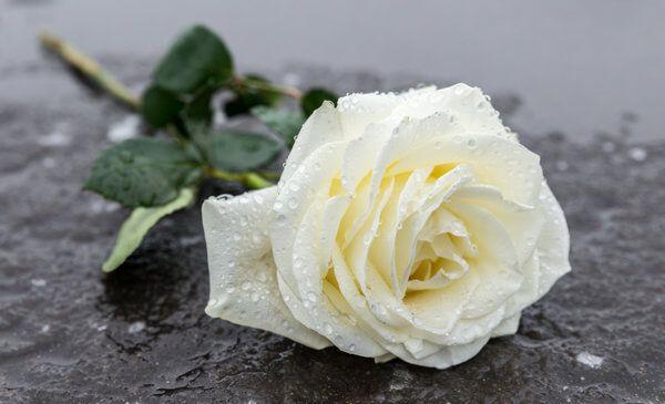 Weiße Rose auf einem Grabstein - In Trauer um den Verstorbenen