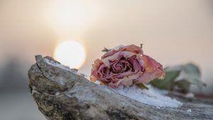 verwelkte Rose auf einem Steingrab - der Abschied von einem besonderen Menschen